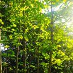 おすすめのシンボルツリー