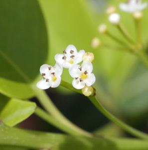 ソヨゴのオス花