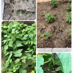 収穫!!はじめての野菜作り