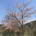 春到来!カープにお花見!!
