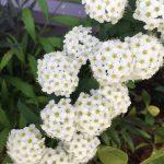 小さくて可愛い手毬状の花