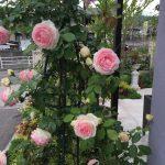 バラの見頃な季節!
