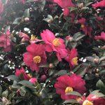 山茶花の魅力✿