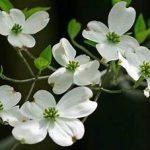 お礼と感謝の花言葉をもつ花-ハナミズキ(花水木)