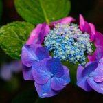 紫陽花のお悩み