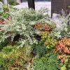 生垣や庭木に使い良い人気のシルバープリペット