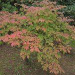 お庭に美しい紅葉樹はいかがですか?