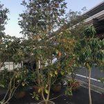 魅惑の植物ロドレイア