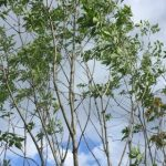 美しい樹幹のシンボルツリー