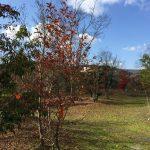 美しい樹皮のシンボルツリー