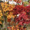 モミジだけじゃない!美しく紅葉する樹木
