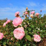 世羅高原 花の森 バラに囲まれたガゼボ