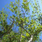 早春を告げる樹木!