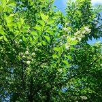人気雑木樹木 エゴノキ