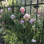 Symphonic・Gardenの薔薇