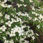 夏のお庭におススメのシンボルツリー 常緑ヤマボウシ