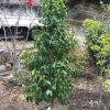 春に向けておススメの常緑樹