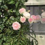 お庭でバラを育てよう!